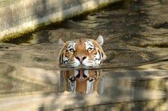Nadador do tigre imagens de stock royalty free