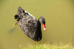 Nadando uma cisne preta Fotos de Stock Royalty Free