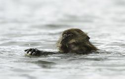 Nadar caranguejo-comendo o macaque (fascicularis do Macaca) Imagem de Stock