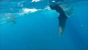 Nadar com tubarões de baleia video estoque
