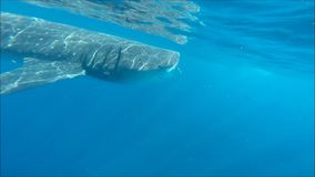 Nadar com tubarões de baleia vídeos de arquivo