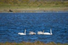 Nadar das cisnes de trompetista (Cygnus buccinator) Fotografia de Stock