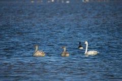 Nadar das cisnes de trompetista (Cygnus buccinator) Foto de Stock Royalty Free