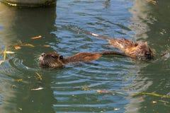 Nadar de dois muskrats (Ondatra Zibethica) Foto de Stock Royalty Free