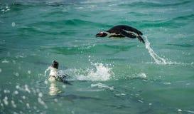 Nadar e saltar do pinguim do africano da água foto de stock royalty free