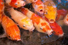 Nadar gracioso em uma água, peixe colorido dos peixes de Ulticoloured Koi do koi na lagoa fotos de stock
