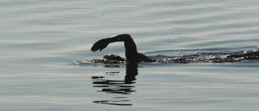 Nadar na água aberta com o roupa de mergulho em Maine Foto de Stock