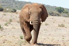 Nadchodzący Zamknięty - afrykanina Bush słoń Fotografia Royalty Free
