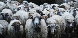 nadchodzące owce Fotografia Stock
