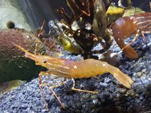 Nade shrimpy fotografia de stock