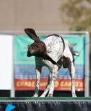 Nadelanzeige-Hund, der weg vom Wasser rüttelt Stockfotografie