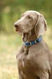 Nadelanzeigehund Lizenzfreies Stockbild