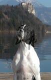 Nadelanzeigehund, der neben dem See verlaufen aufwirft Stockfoto
