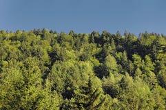Nadelbäume Stockbild