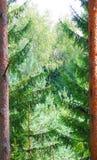 Nadelbäume. Lizenzfreies Stockbild