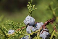 Nadelbäume der Zypresse Lizenzfreies Stockfoto