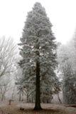 Nadelbaum abgedeckt im Hoarfrost Stockbilder