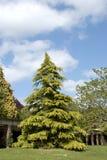 Nadelbaum-Baum stockfoto