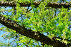 Nadelbaum-Baum Stockfotos