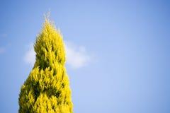 Nadelbaum-Baum Lizenzfreie Stockfotos