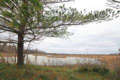 Nadelbaum im Sumpfgebiet Lizenzfreie Stockfotos