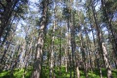 Nadelbaumbäume auf Hügel Lizenzfreie Stockfotos
