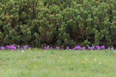 Nadelbaumbäume und -gras mit Blumenhintergrund Stockbilder
