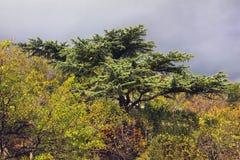 Nadelbaumbaum, der über die Büsche hochragt stockbilder
