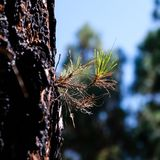 Nadelbaumbaumlebengewinne nach dem Waldbrand stockbild