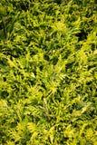 Nadelbaumblätter u. Niederlassungen - immergrünes Laub stockfoto