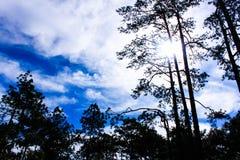 Nadelbaumwälder Stockfotos