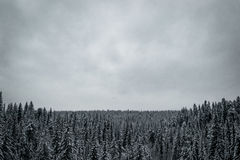Nadelbaumwald im Winter lizenzfreie stockfotografie