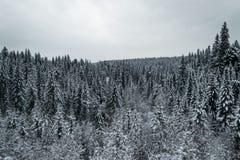 Nadelbaumwald im Winter stockfotografie