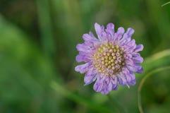 Nadelkissenblume Scabiosa-columbaria Lizenzfreies Stockbild