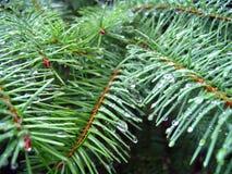 Nadeln eines Tannenbaums Stockfotografie