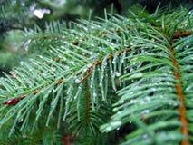 Nadeln eines Tannenbaums Stockfotos