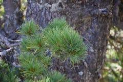 Nadeln von einem Nadelbaum stockbild