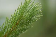 Nadelniederlassungs-Grünbäume nach Regen Stockfotos