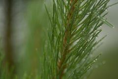 Nadelniederlassungs-Grünbäume nach Regen Lizenzfreies Stockbild