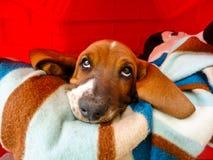 Nadenkend Puppy Stock Afbeelding