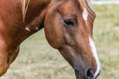 Nadenkend Stoïcijns Paard stock foto's
