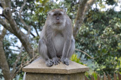 Nadenkende aap op een kolom Stock Fotografie