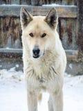 Nadenkende dorpswaakhond met voorbijgeschoten hoektand stock afbeelding