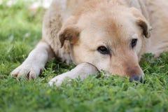 Nadenkende hond, nadenkende hond en natuurlijke achtergrond Stock Afbeeldingen