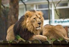 Nadenkende leeuw Royalty-vrije Stock Fotografie