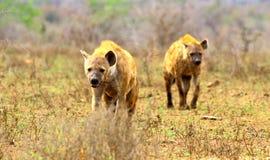 Naderbij komende bevlekte hyena's stock afbeeldingen