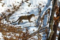 Nadmorski lampart, agresywny zwierzę chodzi na śnieżnej ziemi, duży piękny pasiasty lampart Fotografia Stock