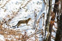 Nadmorski lampart, agresywny zwierzę chodzi na śnieżnej ziemi, duży piękny pasiasty lampart Obraz Stock