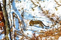 Nadmorski lampart, agresywny zwierzę chodzi na śnieżnej ziemi, duży piękny pasiasty lampart Zdjęcie Stock