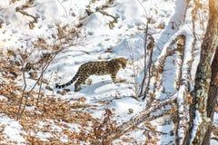 Nadmorski lampart, agresywny zwierzę chodzi na śnieżnej ziemi, duży piękny pasiasty lampart Zdjęcie Royalty Free